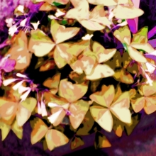 Butterfly Plant Pale Gold, Purple