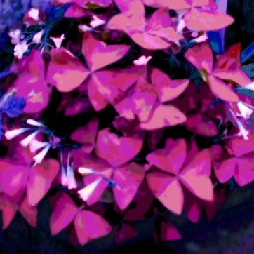 Butterfly Plant Pinks Purples