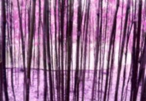 China Grove Purple