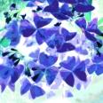 ButterflyPlant blue green560
